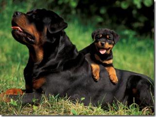 Rottweiler-puppies-19